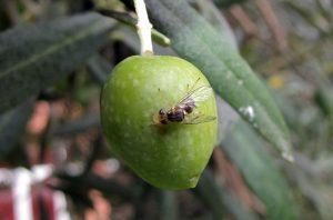 come eliminare la mosca dell'olivo