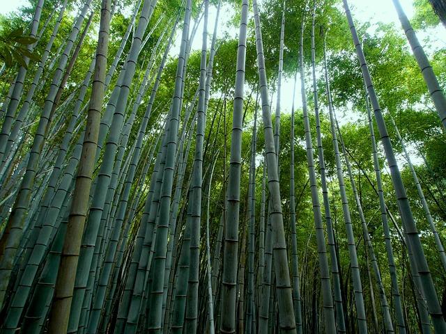 coltivare bambù