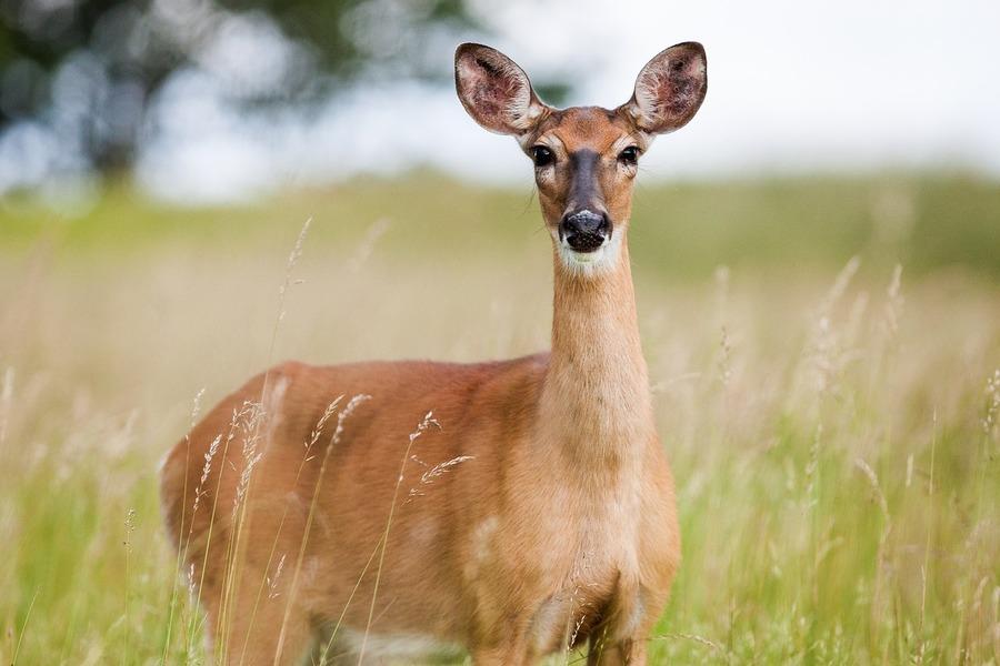 monitoraggio del cervo