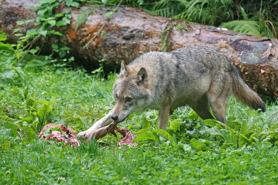 attacco da lupo