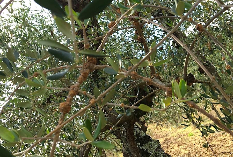 rogna degli ulivi