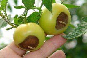 pomodori con la punta nera